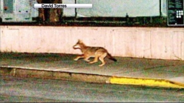[NY] Coyote Spotted Again on Upper West SIde