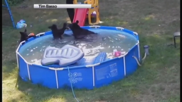 Mama Bear, 5 Cubs Play in Kiddie Pool