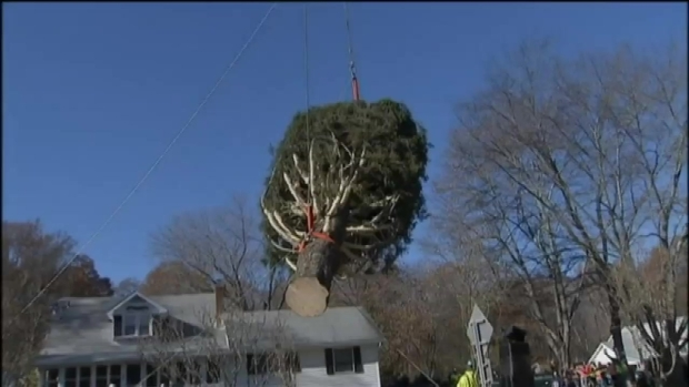 [NY] WATCH: Rockefeller Tree Gets Prepped for Journey to NYC
