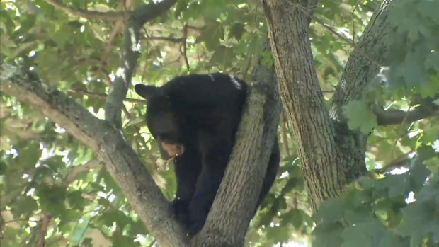 [NY] Black Bear Leads Cops on Chase in NJ, Hides in Tree