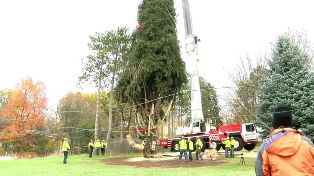 [NY] Rockefeller Center Christmas Tree Is Cut Down, Readies for Journey to NYC