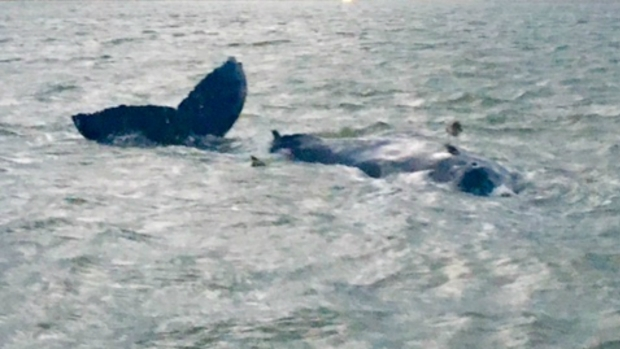 20-Foot Whale Washes Into NY's Moriches Bay