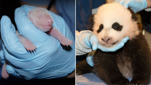 [NATL-DC] National Zoo's Panda Cub: See How She's Grown!
