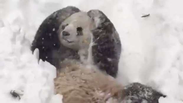 [NATL] Tian Tian the Panda Rolls in the Snow in DC