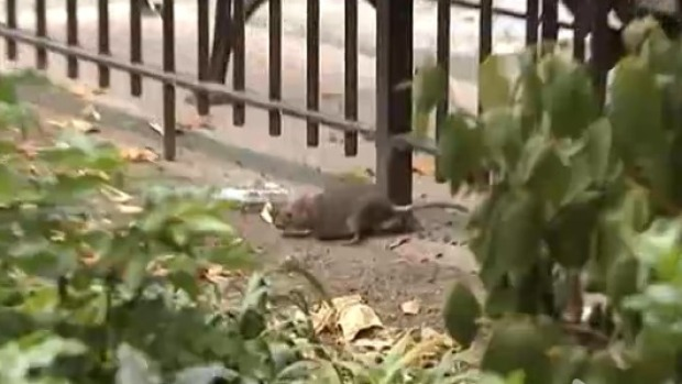 [NY] Rats in Tompkins Square Park