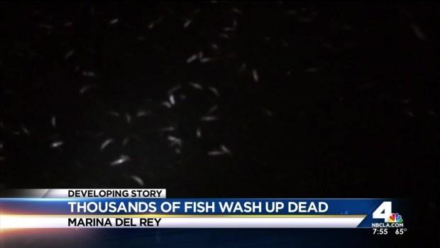 [LA] Dead Fish Wash Up in Marina Del Rey