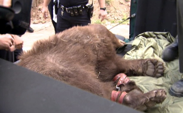 [LA] Warden: Bear Probably Pushed Out by Larger Bears in Food Search