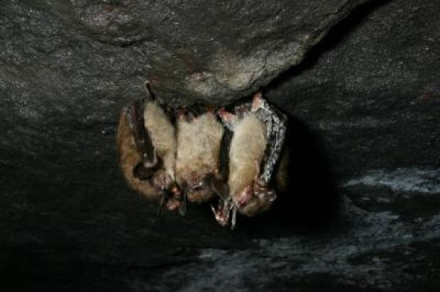 Fungus May Cause New York Bats to Go Extinct