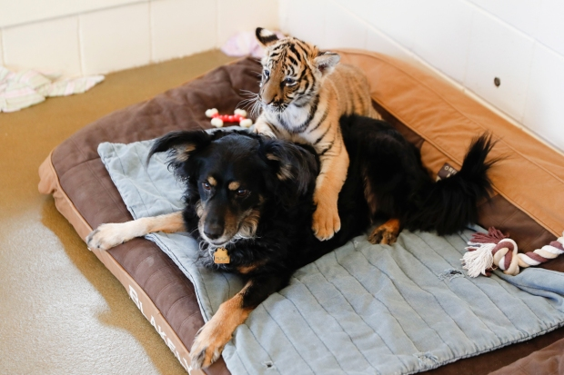 Adorable Zoo Babies: German Shepherd Nurses Tiger Cubs