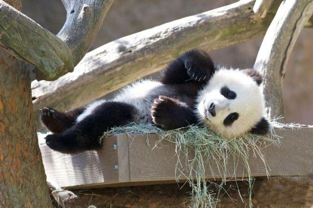 San Diego Zoo's Newest Panda Cub