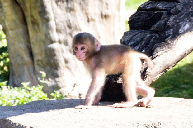 Adorable Zoo Babies: Endangered Snow Monkey Born
