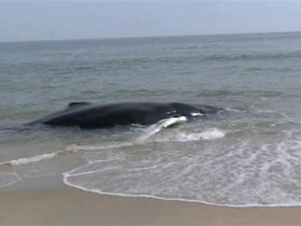[NY] Dire Straits for Beached Whale on Long Island