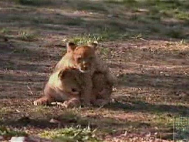 [NY] New Pride of New York: Lion Cubs Debut at Bronx Zoo