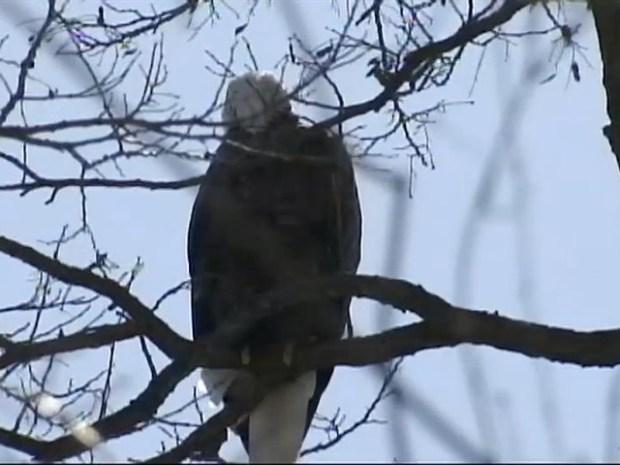[NY] Bald Eagle Sightings