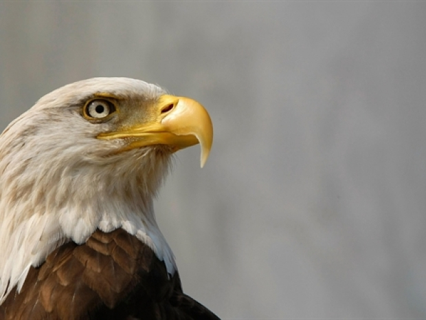 [NY] Bald Eagle Population Expands Here at Home