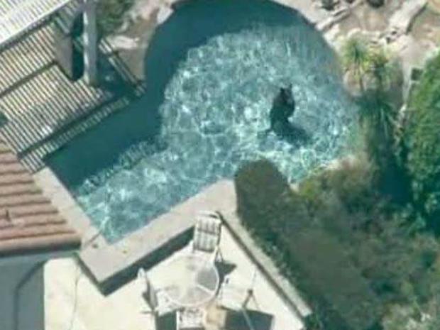 [LA] Bear Takes Swim (RAW)