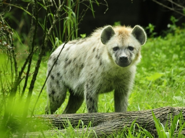 [NY] Hyenas Come to the Bronx Zoo