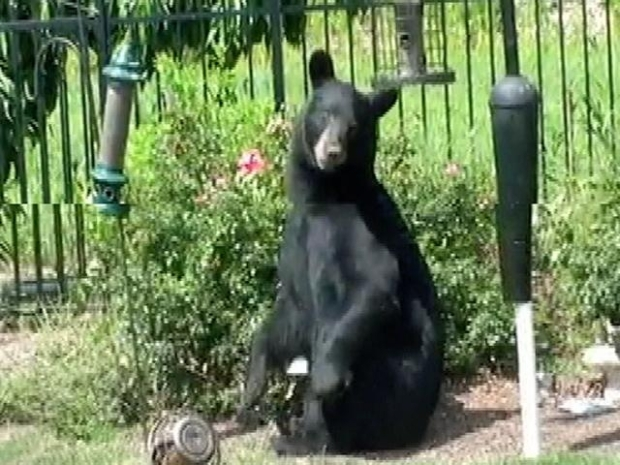 [NY] Home Video: Notorious Black Bear Returns to Jersey
