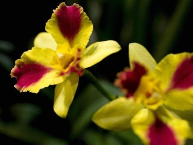 [NY] Orchid Show to Bloom at NY Botanical Garden