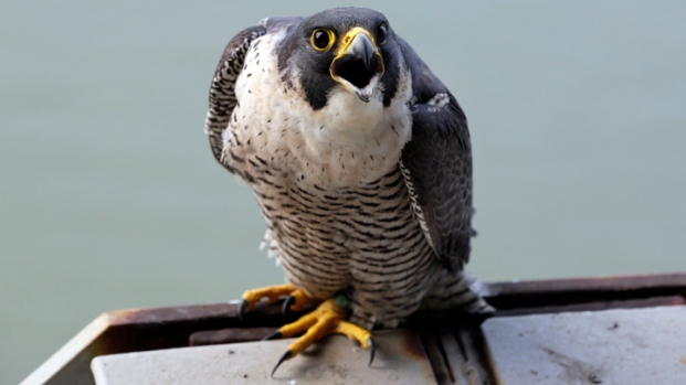 Falcon Chicks Living on GWB Are Banded