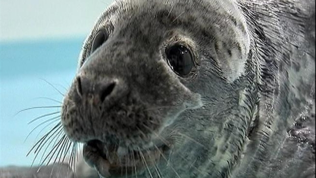 [NY] Injured Baby Seal Recovers