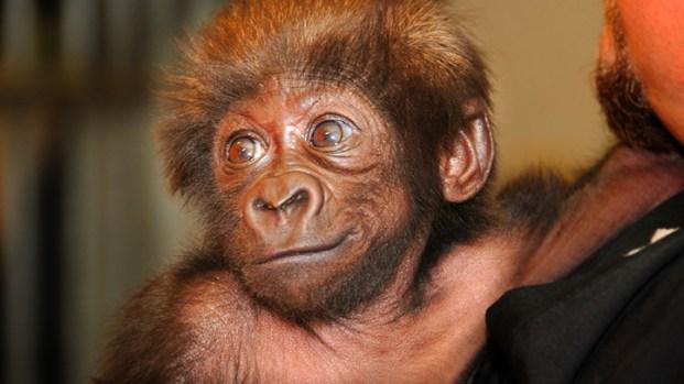 [NEWSC] Going Ape for Cute Baby Gorilla