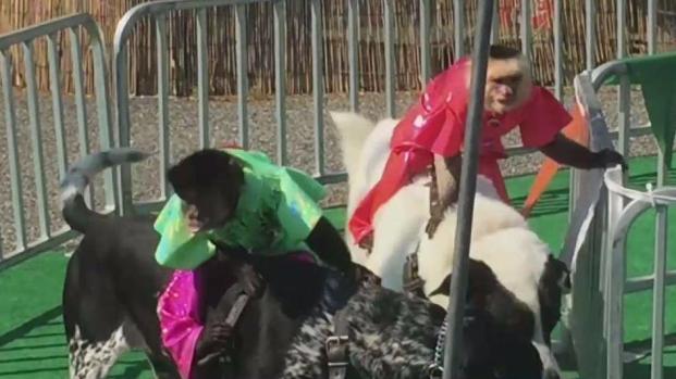 Controversy as Monkey Jockeys Race on Dogs at NY Fair