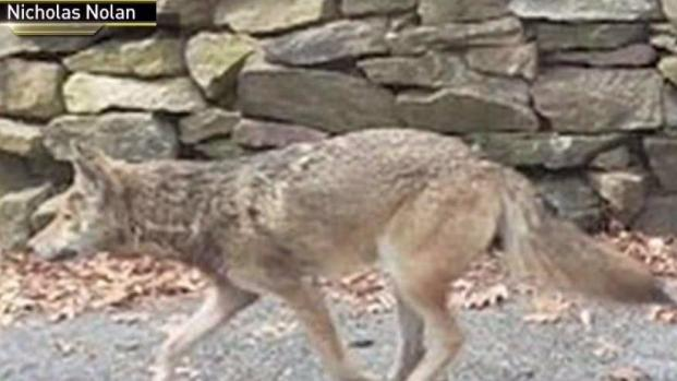 [NY] Dangerous Coyote Behind Multiple Attacks in NY