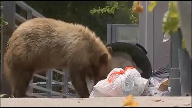 [LA] Raw Video: Bear Munches on Trash in Altadena Backyard