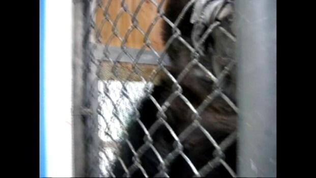 [BAY] Raw Video: Koko in Natural Element