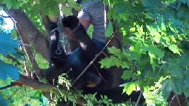 [NY] Bear Tranquilized, Lowered from Tree