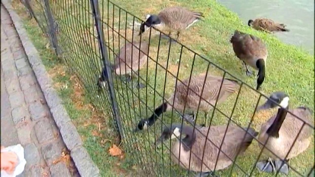 [NY] Geese Problem Solves Hunger Problem