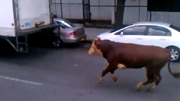 [NY] Cow Runs Loose in Queens