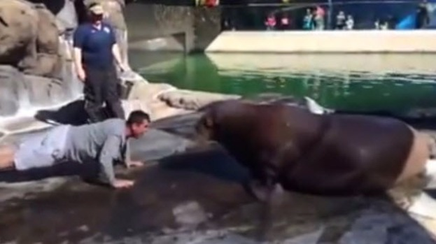 49ers Coach  in Push-Up Contest with Walrus