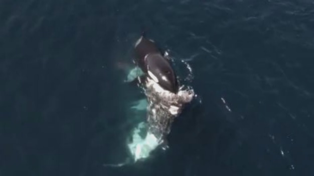 Drone Footage Shows Killer Whales Feasting in Monterey Bay