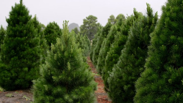 Christmas Tree Farmer Returns Wedding Band Lost 15 Years}