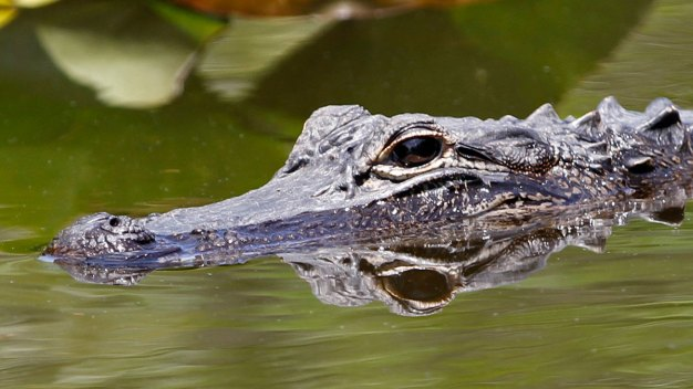 Knock, Knock: No Joke, a Gator's at the Door (Again)