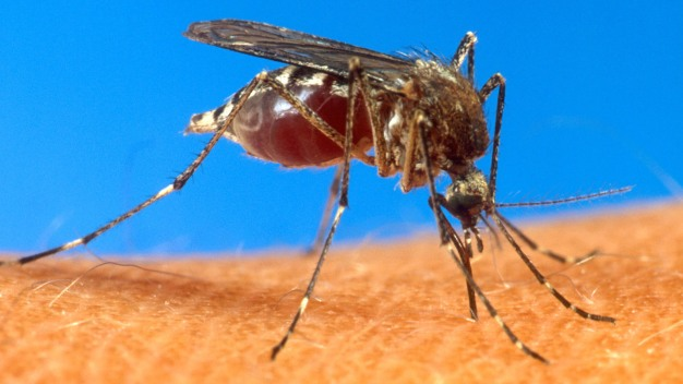 Painful Mosquito Virus Diagnosed in 3 NY Patients