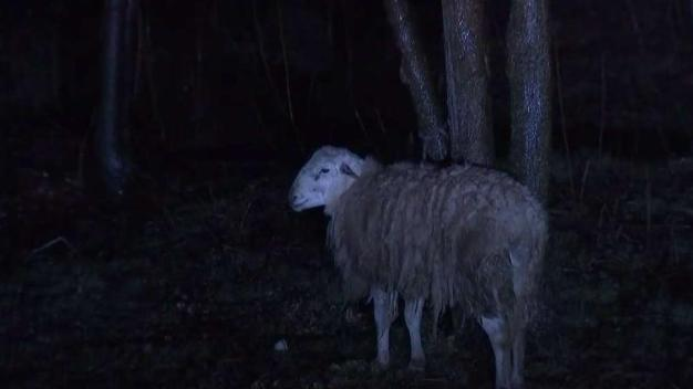 Baa: Officers Rescue Sheep Found Tied to Tree at NYC Park
