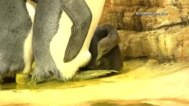 Adorable Baby Penguin Debuts at Zoo