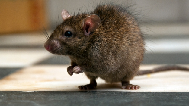 New Zealand Aims to Become Rat Free