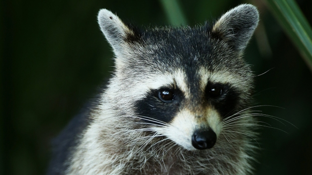 Woman Turns to Firefighters for Help With Blazed Pet Raccoon