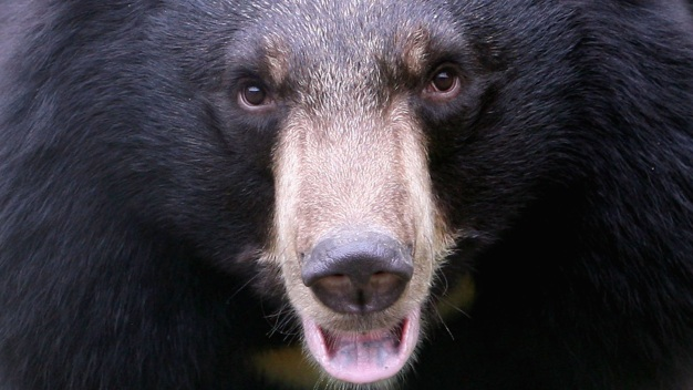Controversial NJ Bear Hunt Extended for Another 4 Days