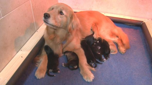 NY Golden Retriever Adopts Puppies Abandoned by Their Mom