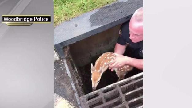 NJ Police Office Saves Baby Deer in Drain