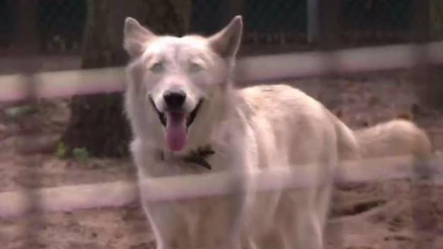 NY Man Gives up Pet Wolf After It Becomes Aggressive