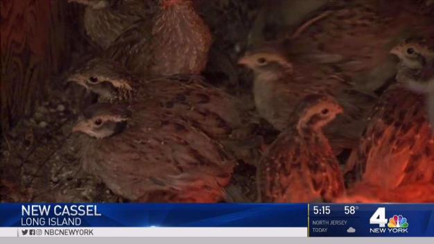 NY Town to Put Quails to Work in Fight Against Ticks