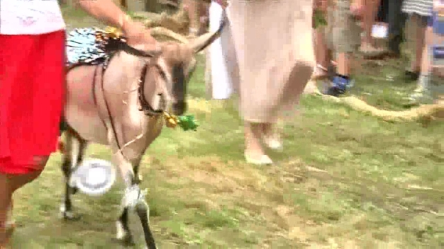Pageant for Loveliest Goat