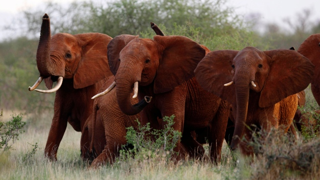 Trump Delays New Policy on Importing Elephant Parts