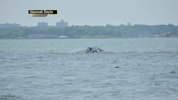 Whale Sightings Spike In Tri-State Area